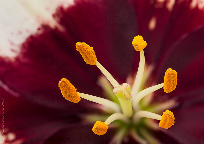 Asiatic Lily, closeup by Mark Windom for Stocksy United