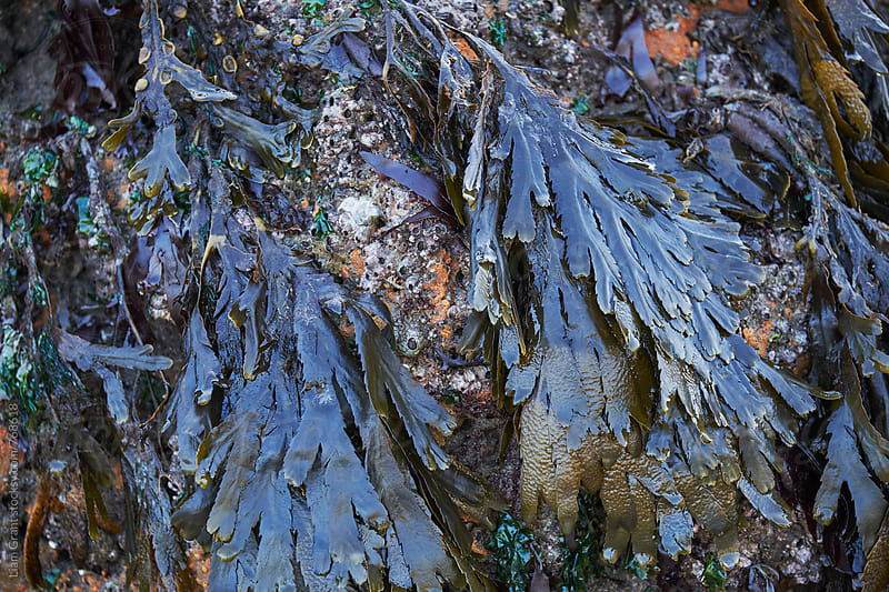 Serrated Wrack (Fucus serratus) seaweed. Wales, UK. by Liam Grant for Stocksy United