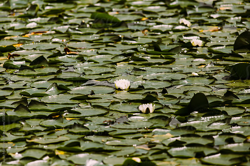 Lake Surface Covered With Green Lily Pads by Luke Mattson for Stocksy United