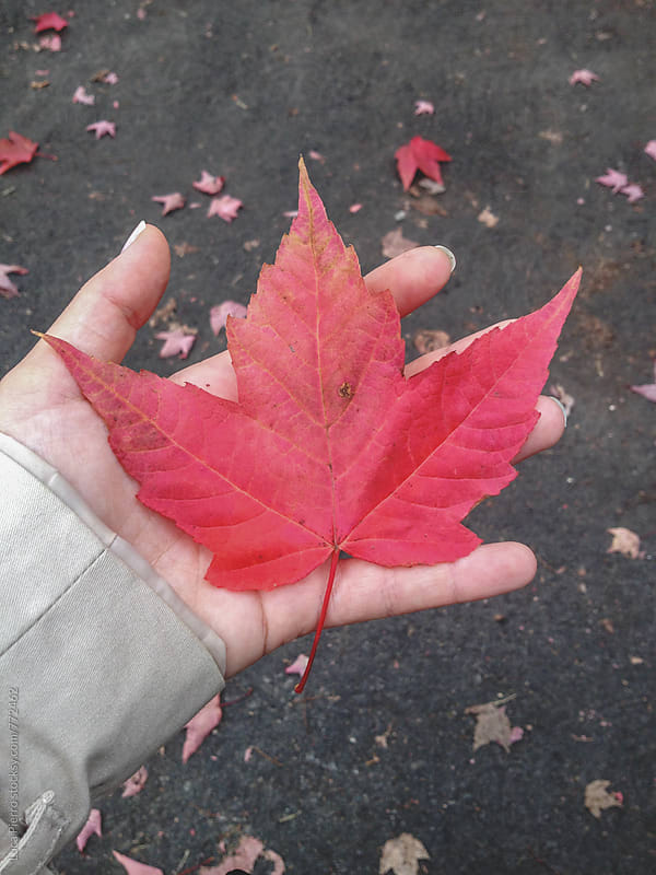 Red maple leaf in a hand by Luca Pierro for Stocksy United
