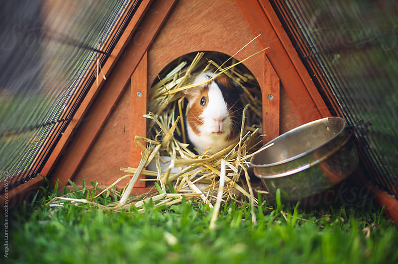 Guinea pig sitting in hay in his hutch by Angela Lumsden for Stocksy United
