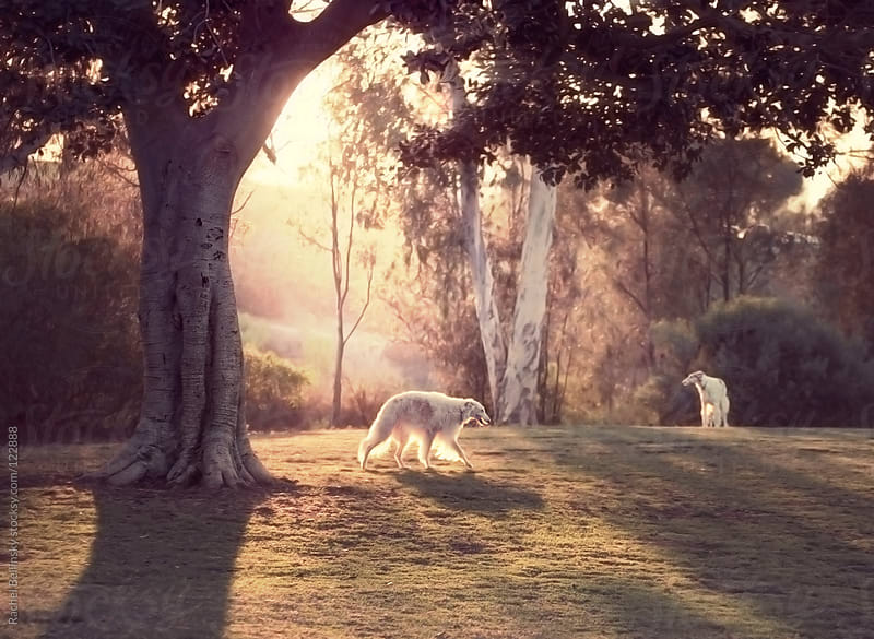 Majestic white afghan dogs play in the park at sunset by Rachel Bellinsky for Stocksy United