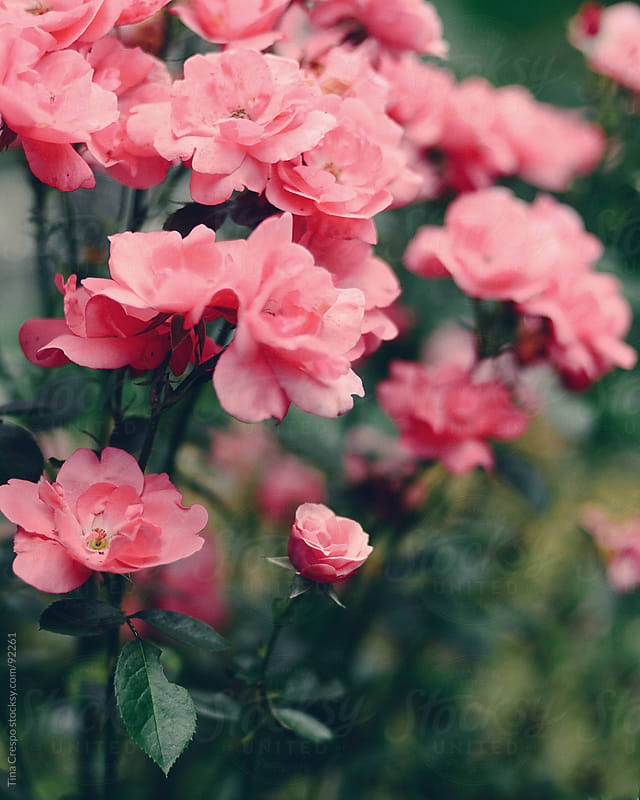Garden Roses by Tina Crespo for Stocksy United