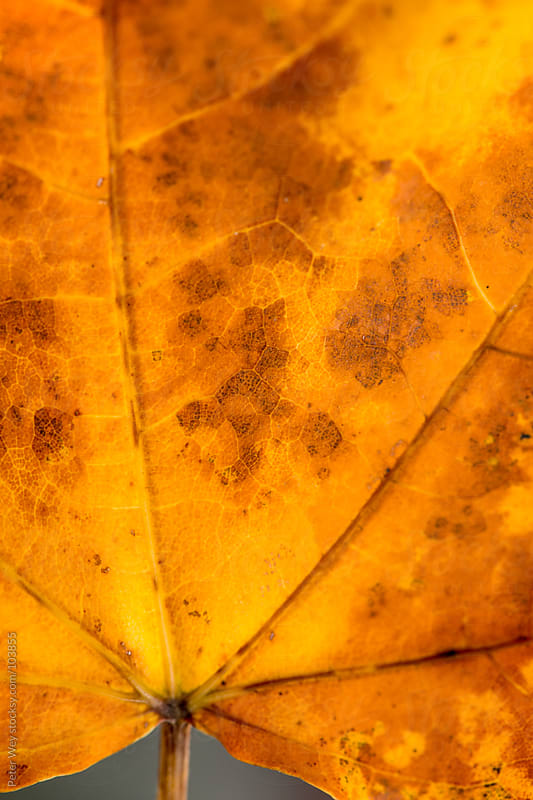 maple leaf macro by Peter Wey for Stocksy United