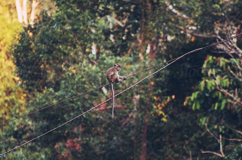 Macaques climbing through Bornean jungle by Dominique Chapman for Stocksy United