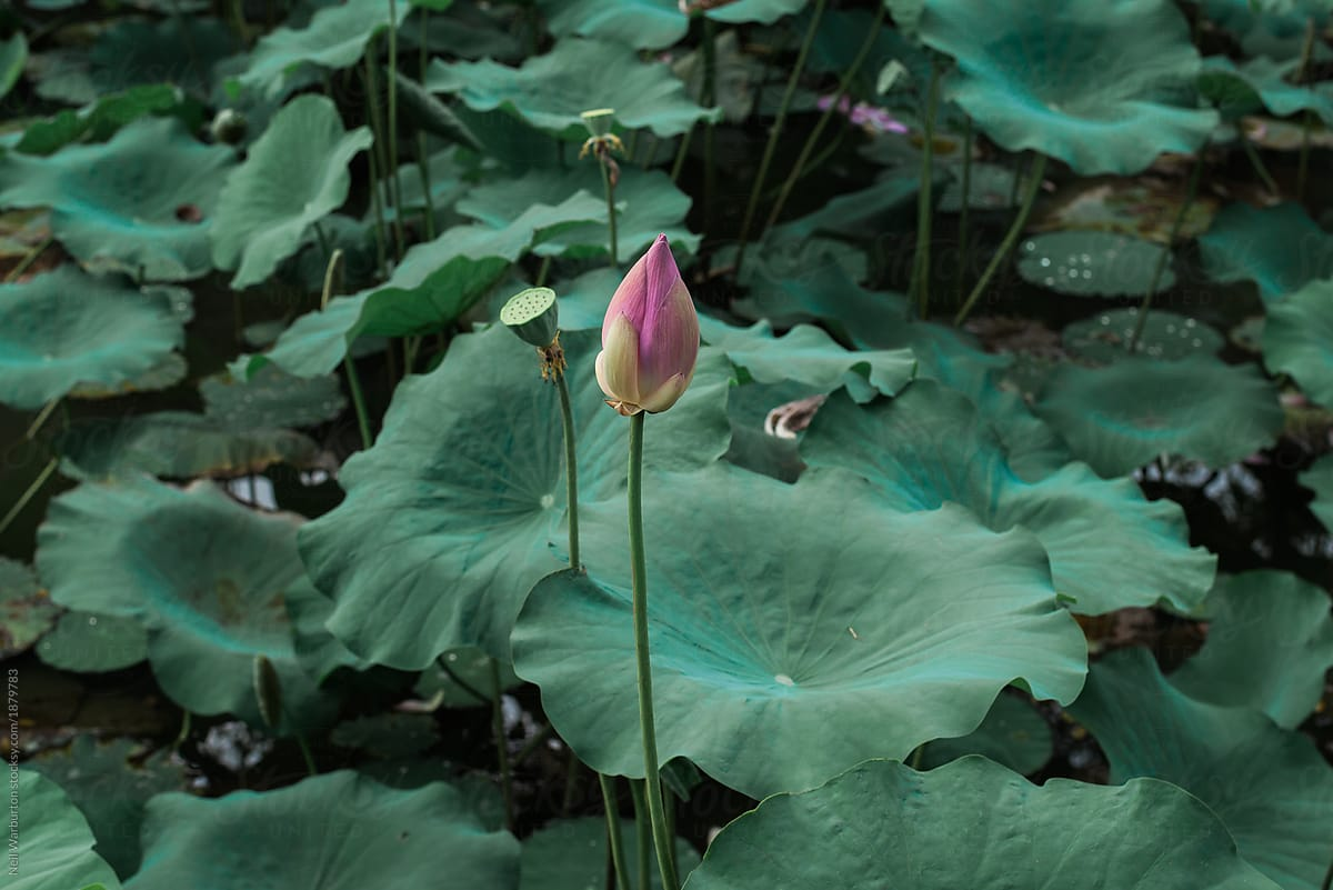 Lotus Flower Surrounded By Leaves Stocksy United