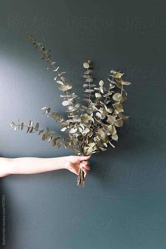 Hand holding Eucalytus by Sophia Hsin for Stocksy United