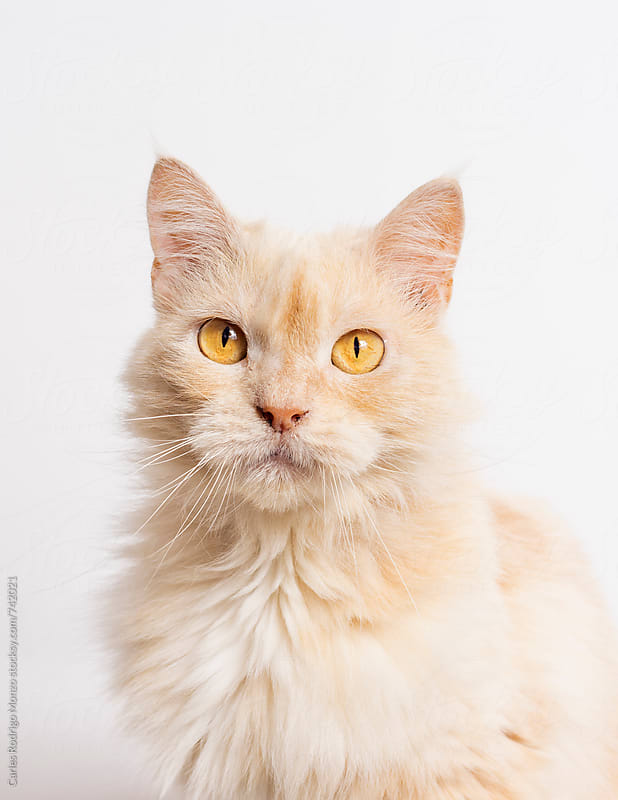 Cat portrait by Carles Rodrigo Monzo for Stocksy United