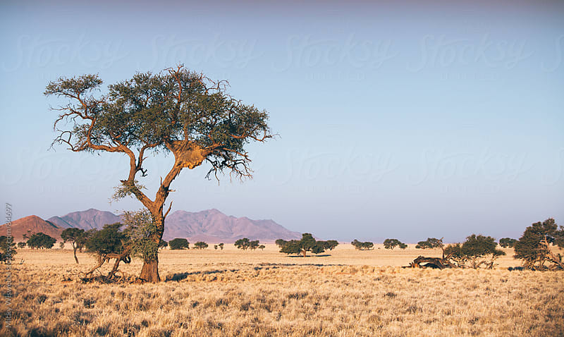 Namib Desert tree with a sociable weaver nest by Micky Wiswedel for Stocksy United