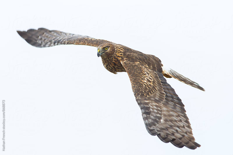 Northern Harrier in Flight by Nathan French for Stocksy United