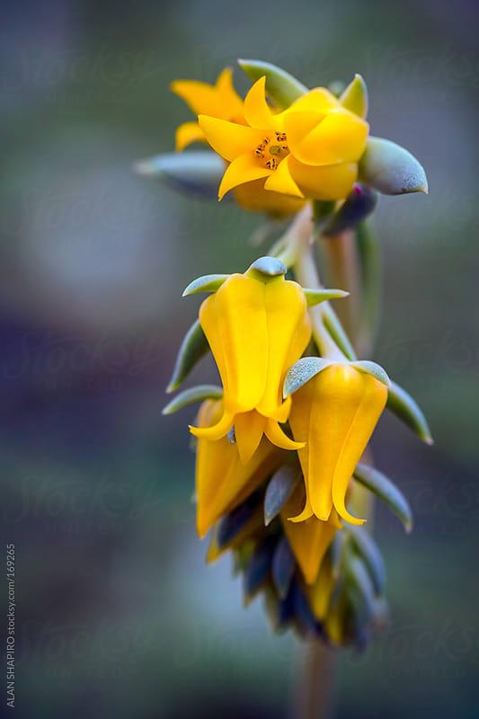 Echeveria in bloom by ALAN SHAPIRO for Stocksy United