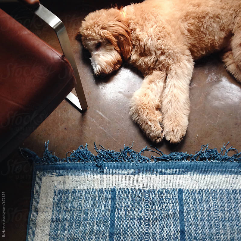 Golden Doodle Sleeping by B. Harvey for Stocksy United