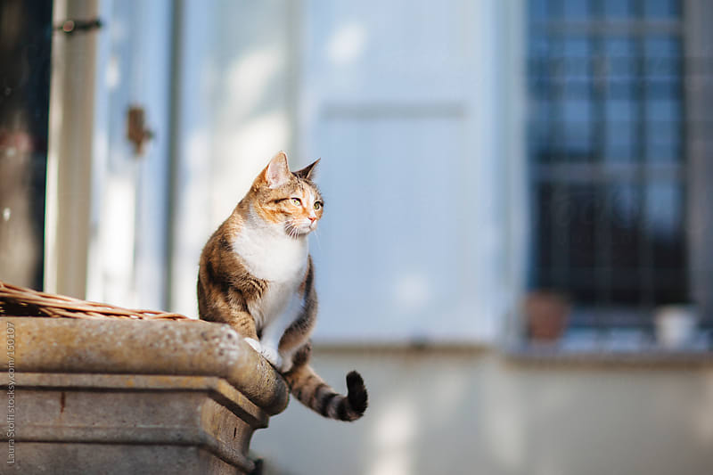 Tabby cat bathing in the sun by Laura Stolfi for Stocksy United