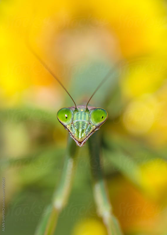 Praying Mantis face by alan shapiro for Stocksy United