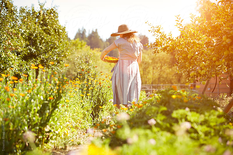 Woman picking calendula flowers at her organic farm in California  by Trinette Reed for Stocksy United