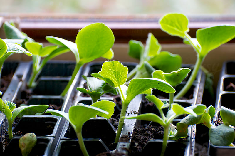 Squash seedlings by Harald Walker for Stocksy United