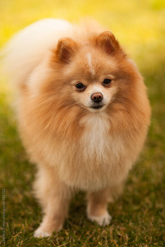 Pomeranian dog portrait by Leandro Crespi for Stocksy United