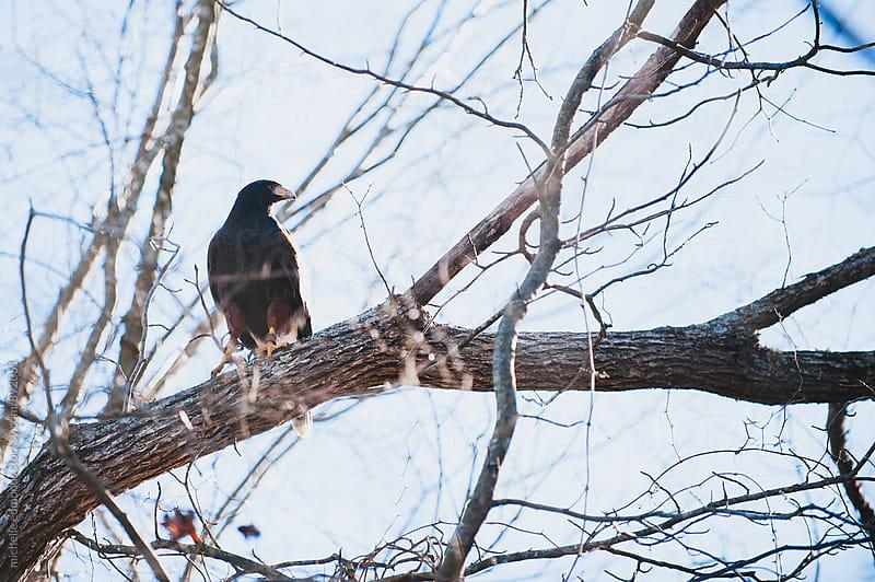 Harris's Hawk by michelle edmonds for Stocksy United