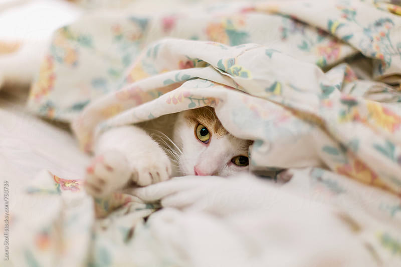 Adorable cat peeps out while hiding under sheet on unmade bed by Laura Stolfi for Stocksy United