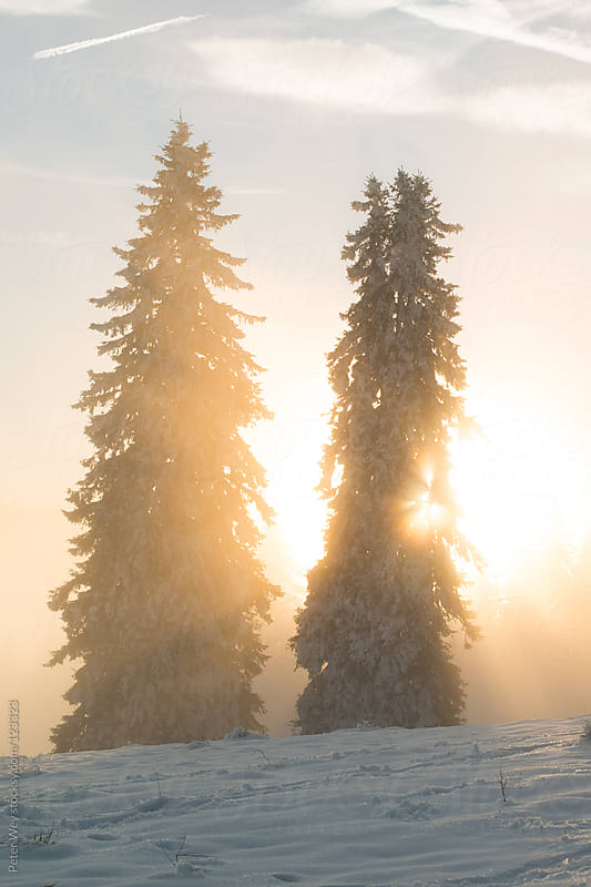 Trees in the glow of a foggy sunset at Feldberg by Peter Wey for Stocksy United