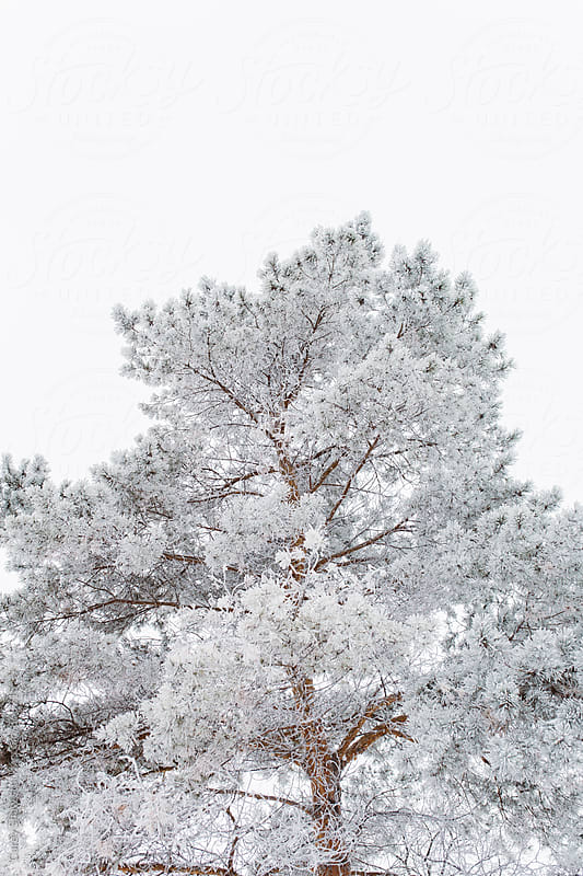 Frost covered evergreen trees in winter by Carey Shaw for Stocksy United