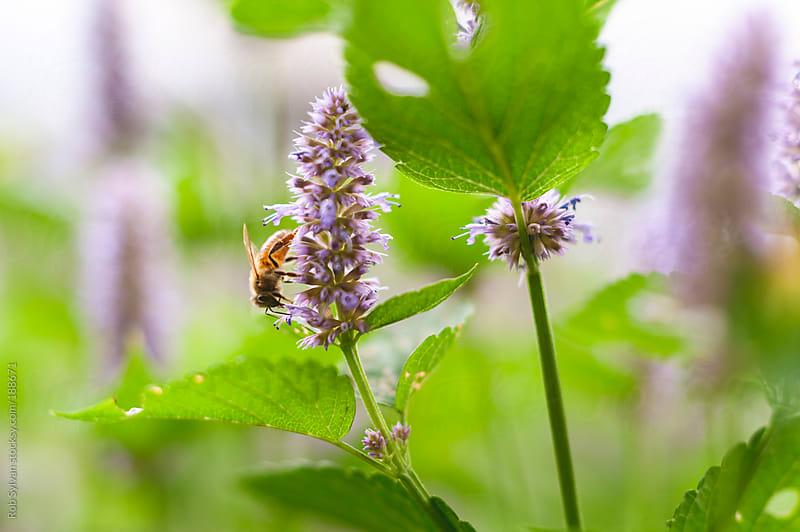 Honeybee on Hyssop by Rob Sylvan for Stocksy United