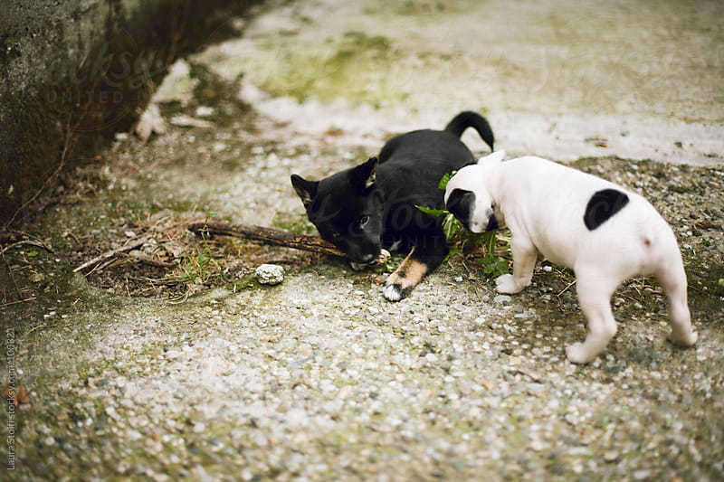 Shiba Inu and French Bulldog puppy dogs playing with wooden stick in garden by Laura Stolfi for Stocksy United