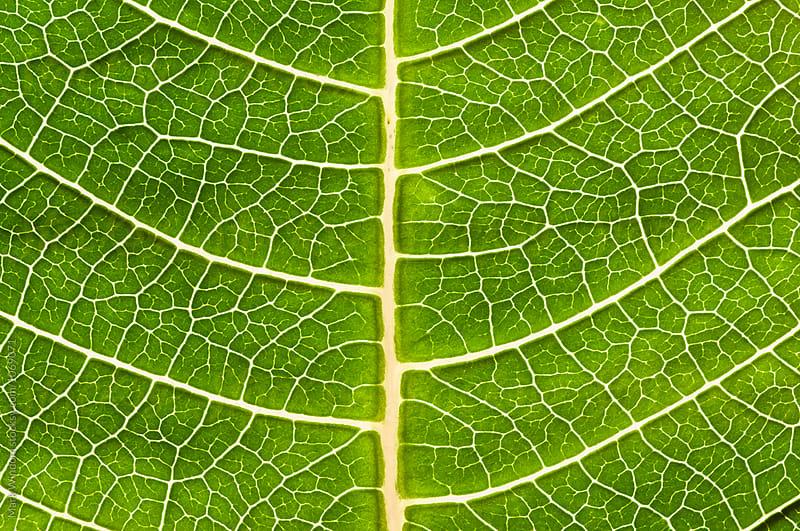 Backlit Poinsettia leaf by Mark Windom for Stocksy United