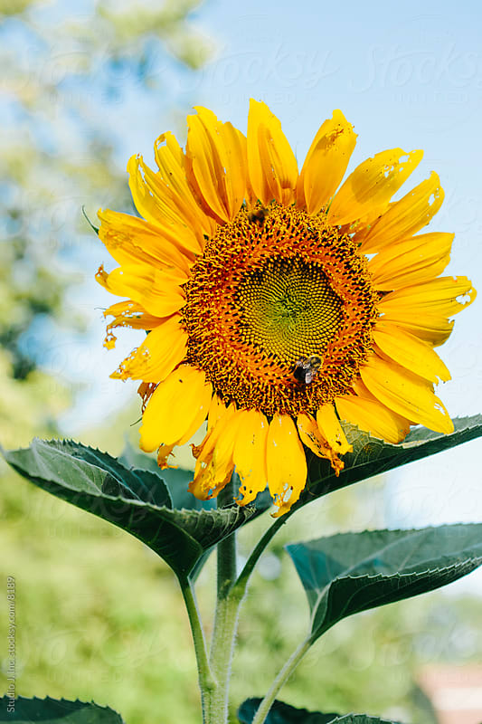 Backyard Garden: Sunflowers in the Vegetable Patch by Jani Bryson for Stocksy United