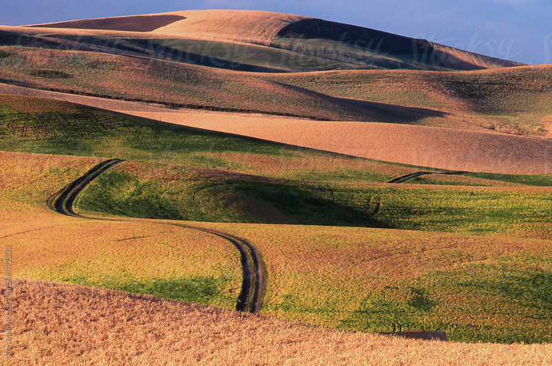 tire tracks meandering through wheat (triticum sp.) and lentil (lens culinaris) fields in Palouse by Ron Mellott for Stocksy United
