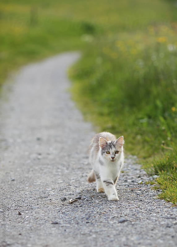cat walking along a path by rolfo for Stocksy United