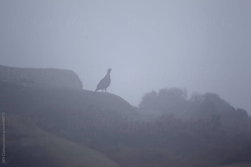 The silhouette of a red grouse on a rock by Will Clarkson for Stocksy United