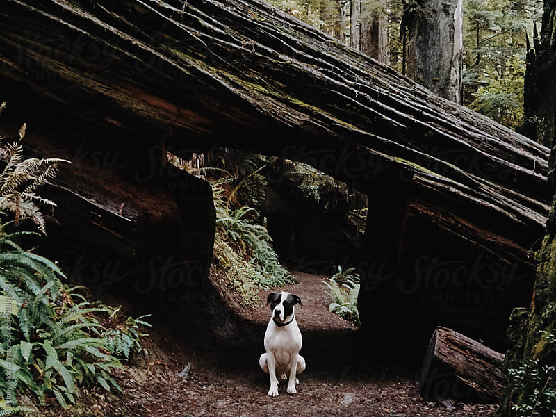 Rodger in a Redwood by Sidney Morgan for Stocksy United