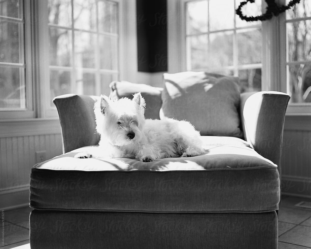 Black And White Image Of A Cute Small White Dog Lying On An Ottoman