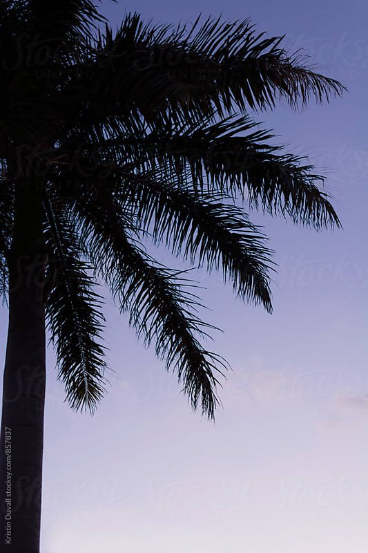 Silhouetted palm trees at sunrise. Florida. by Kristin Duvall for Stocksy United