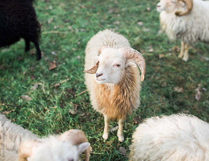 Cute Breto dwarf sheep stands in pasture and looks at the camera by Laura Stolfi for Stocksy United