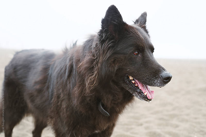 A Black long haired dog on the beach. by Lucas Saugen for Stocksy United