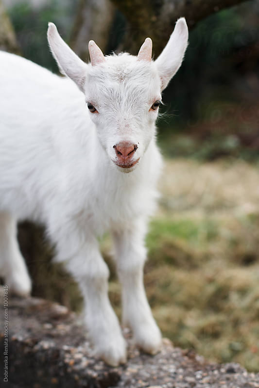 Baby Goat by Dobránska Renáta for Stocksy United