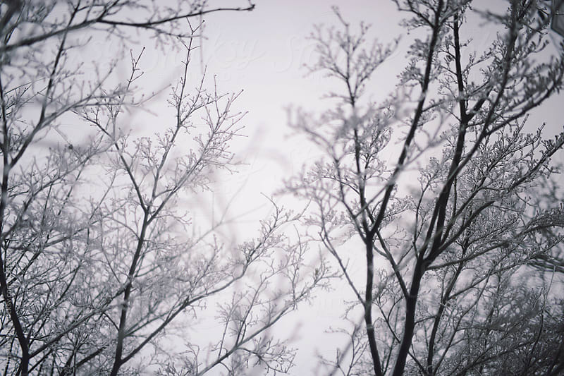 Frozen Tree Tops by Tina Crespo for Stocksy United