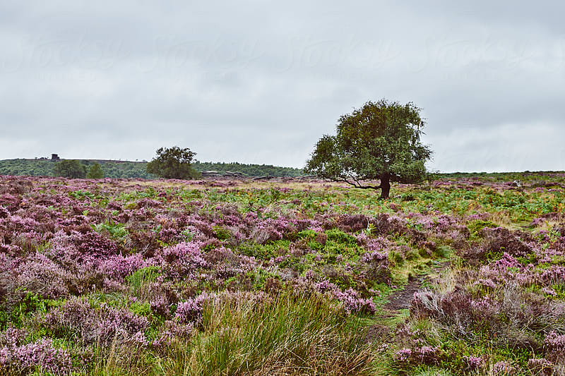 Tree among heather on a remote hillside. Derbyshire, UK. by Liam Grant for Stocksy United