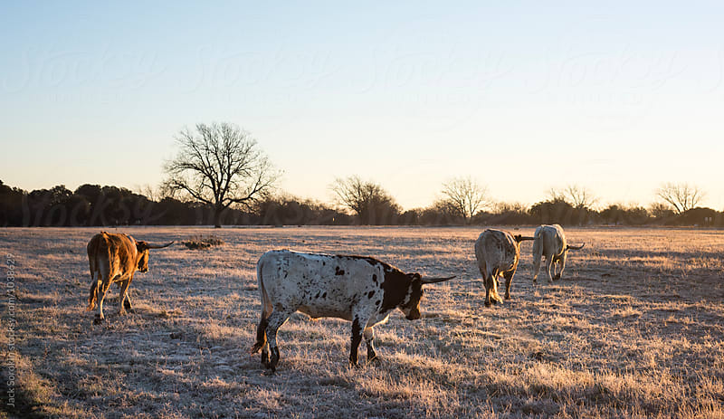 Longhorn Cow Herd Walking Through Pasture at Dawn In The Winter by Jack Sorokin for Stocksy United