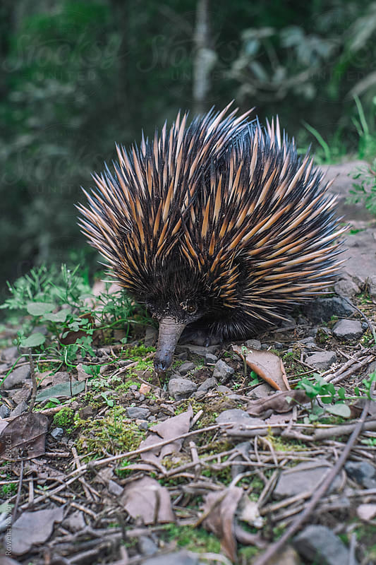 Australian Echidna in natural habitat by Rowena Naylor for Stocksy United