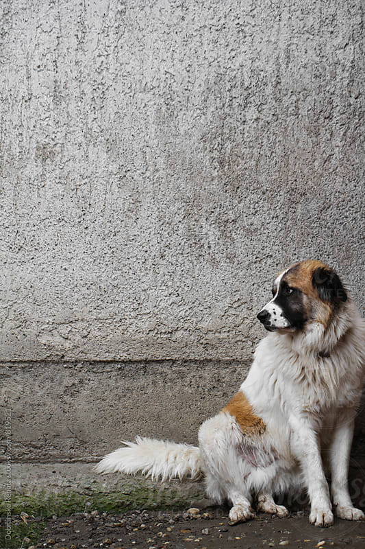 A dog sitting in front of a wall by Dobránska Renáta for Stocksy United