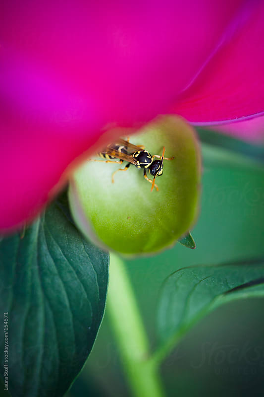 Close-up of bee resting on Pink peony leaf by Laura Stolfi for Stocksy United
