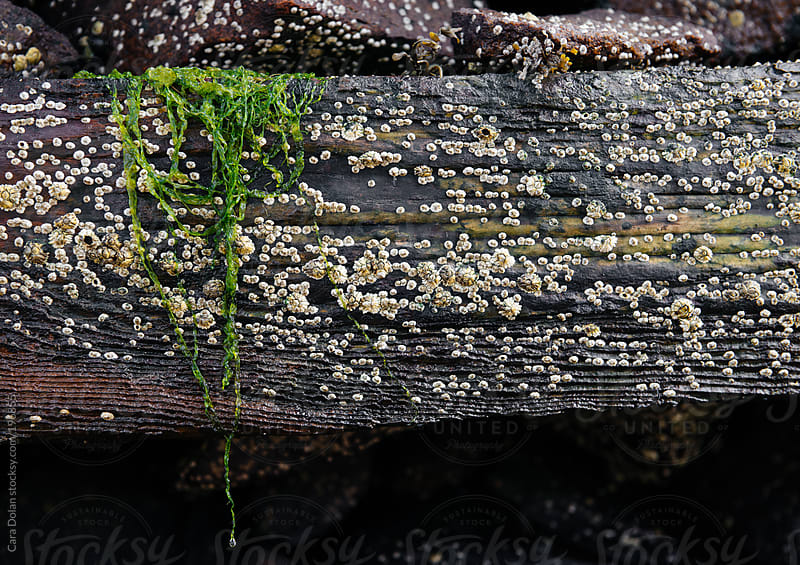 A bit of green seaweed hangs from a barnacle-laden dock post by Cara Dolan for Stocksy United
