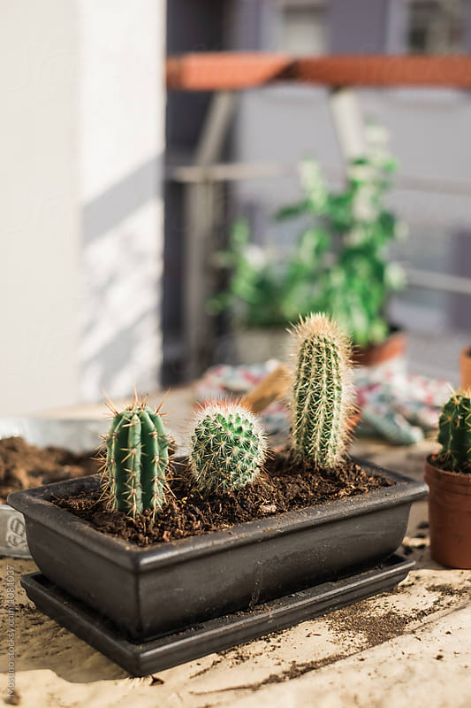 Replanted Little Cactuses  by Mosuno for Stocksy United
