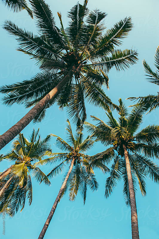 Palm Trees by Alexander Grabchilev for Stocksy United