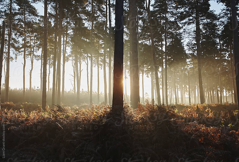 Early morning light in mist filled woodland. Norfolk, UK. by Liam Grant for Stocksy United
