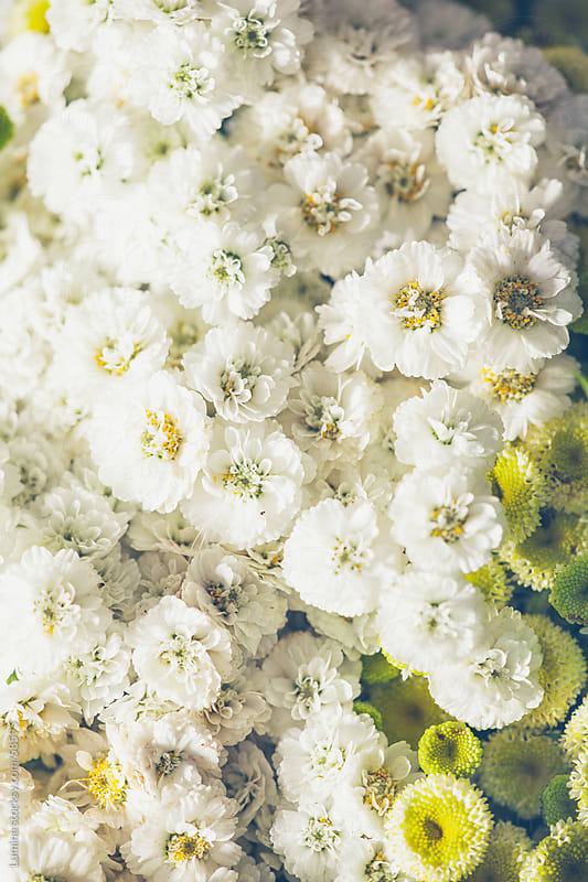 White Flowers by Lumina for Stocksy United