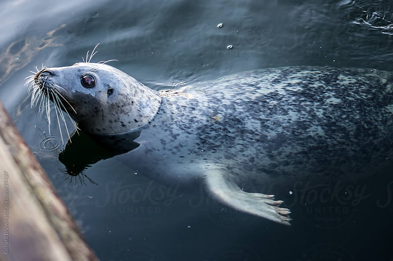 Curious harbor seal by Richard Brown for Stocksy United